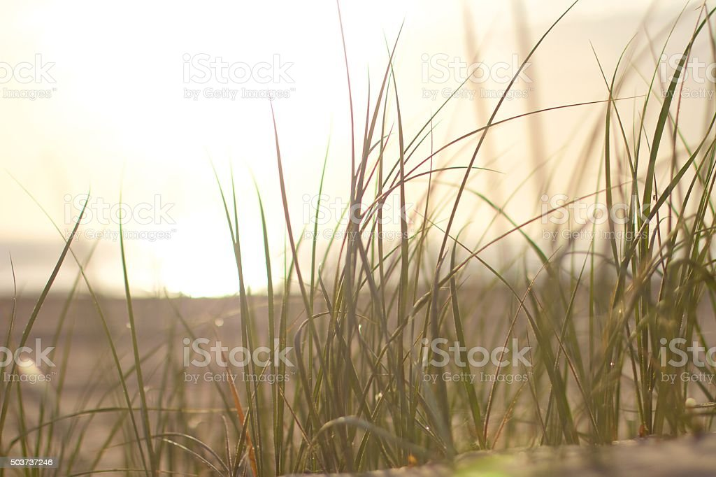 Golden beach sunrise seen through wispy beach grass stock photo