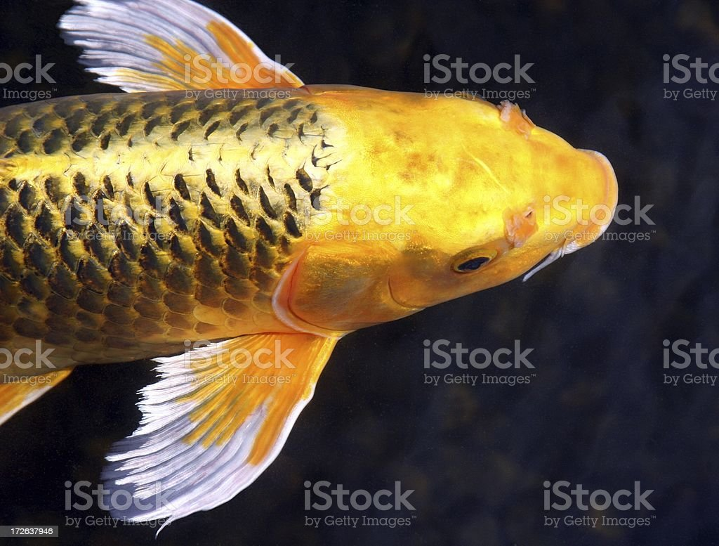 Golden Beauty stock photo