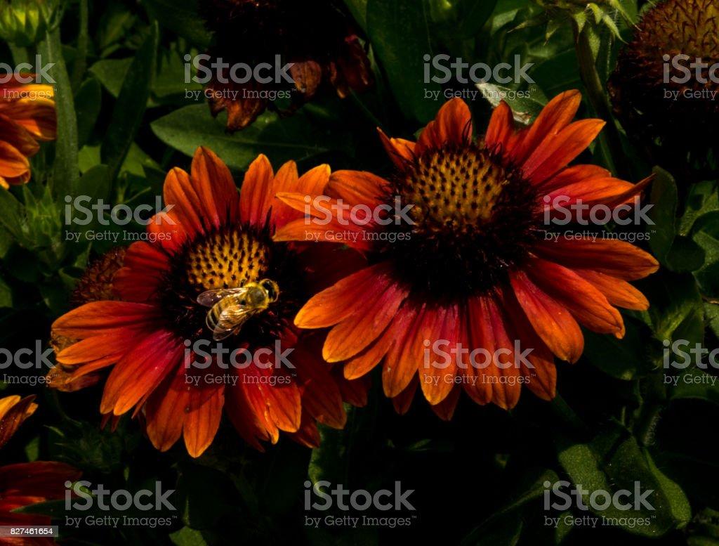 Golden Bee Orange Flowers stock photo