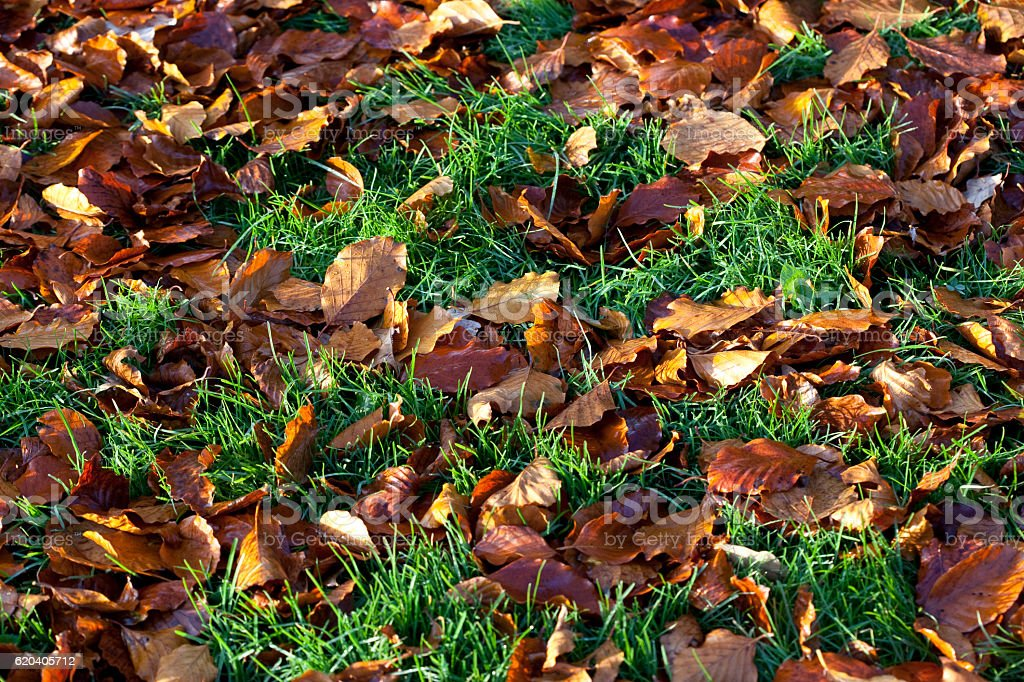 Golden Beech Leaves in the Green Grass stock photo