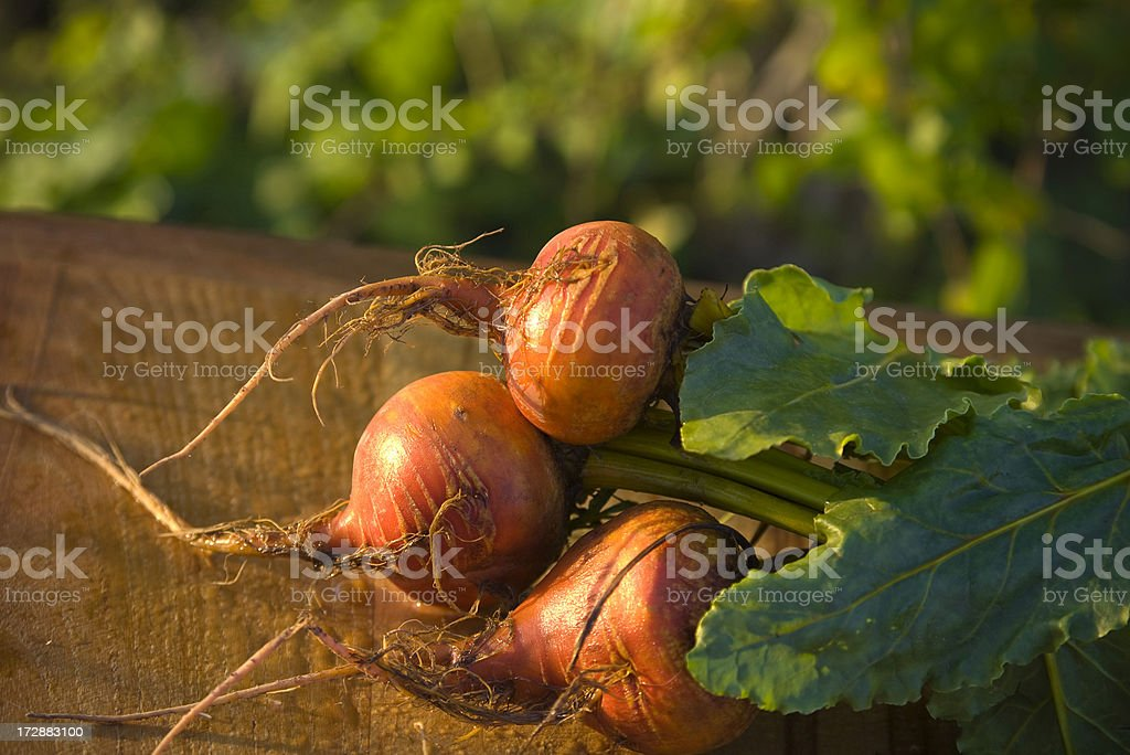 Golden Beet Root, Homegrown Organic Vegetable Produce in Garden stock photo