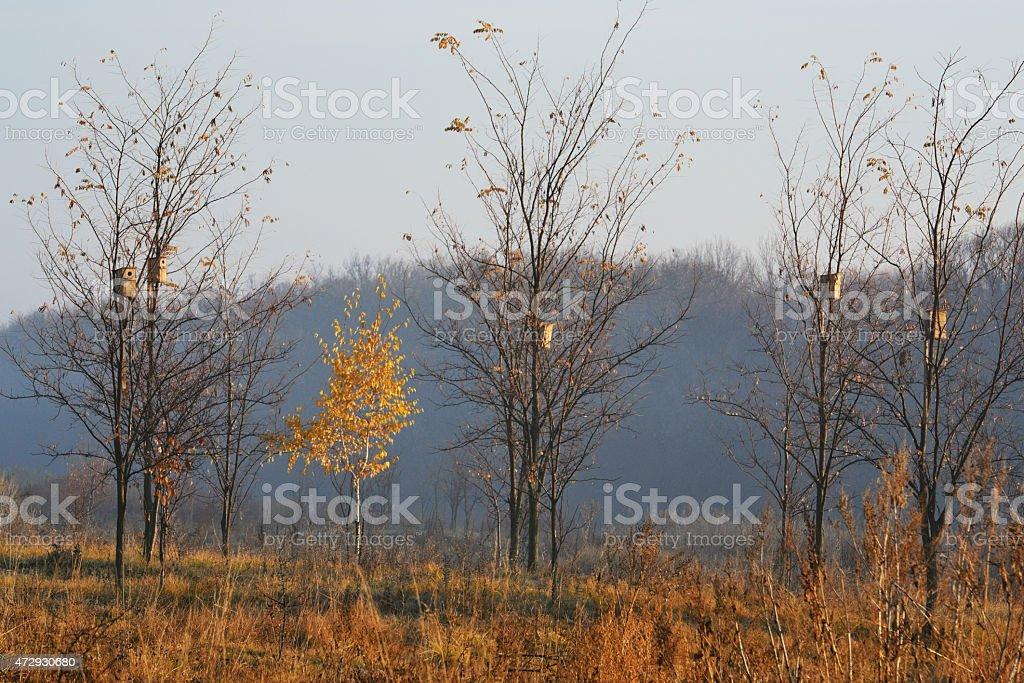 golden birch foto de stock libre de derechos