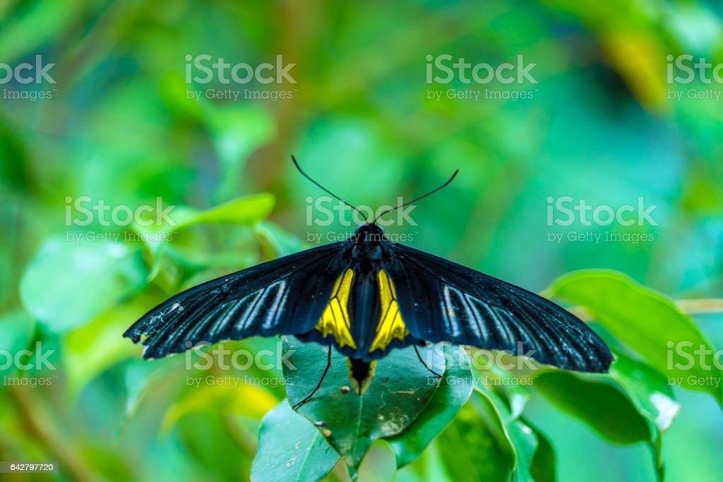 Golden birdwing butterfly (Troides rhadamantus) stock photo