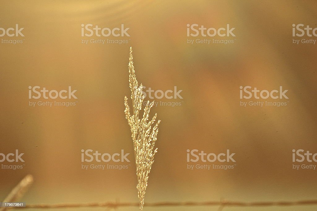 Golden Blade of Grass royalty-free stock photo
