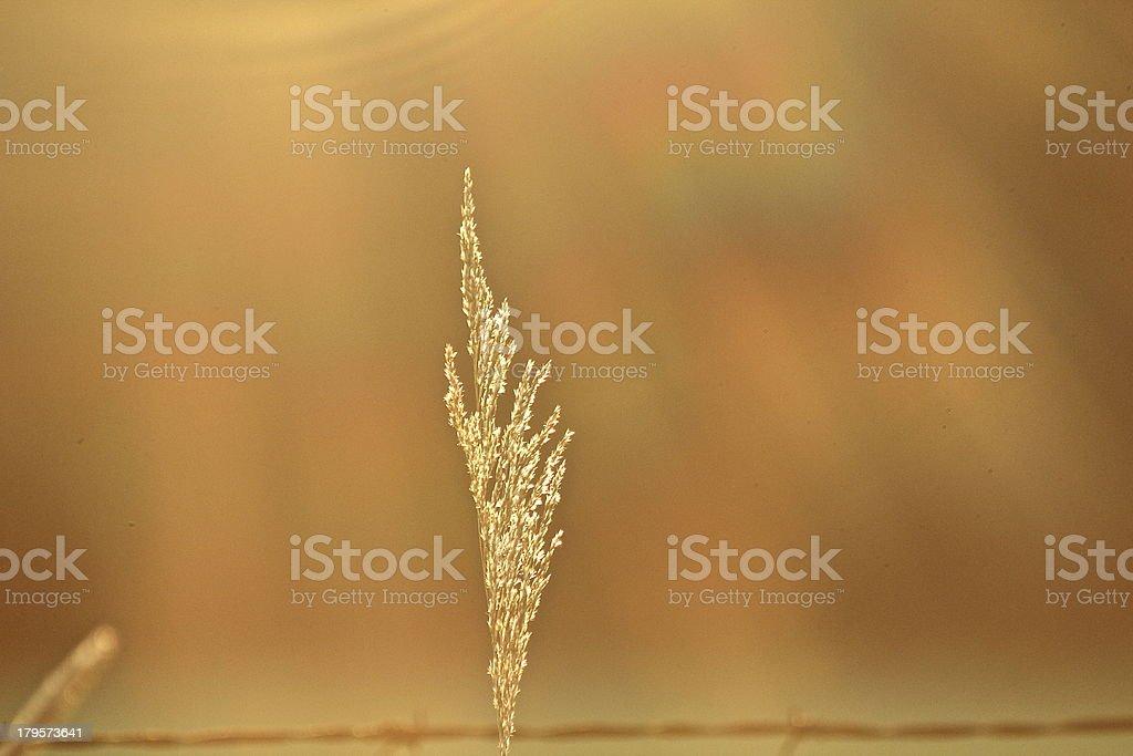 Golden Blade of Grass stock photo