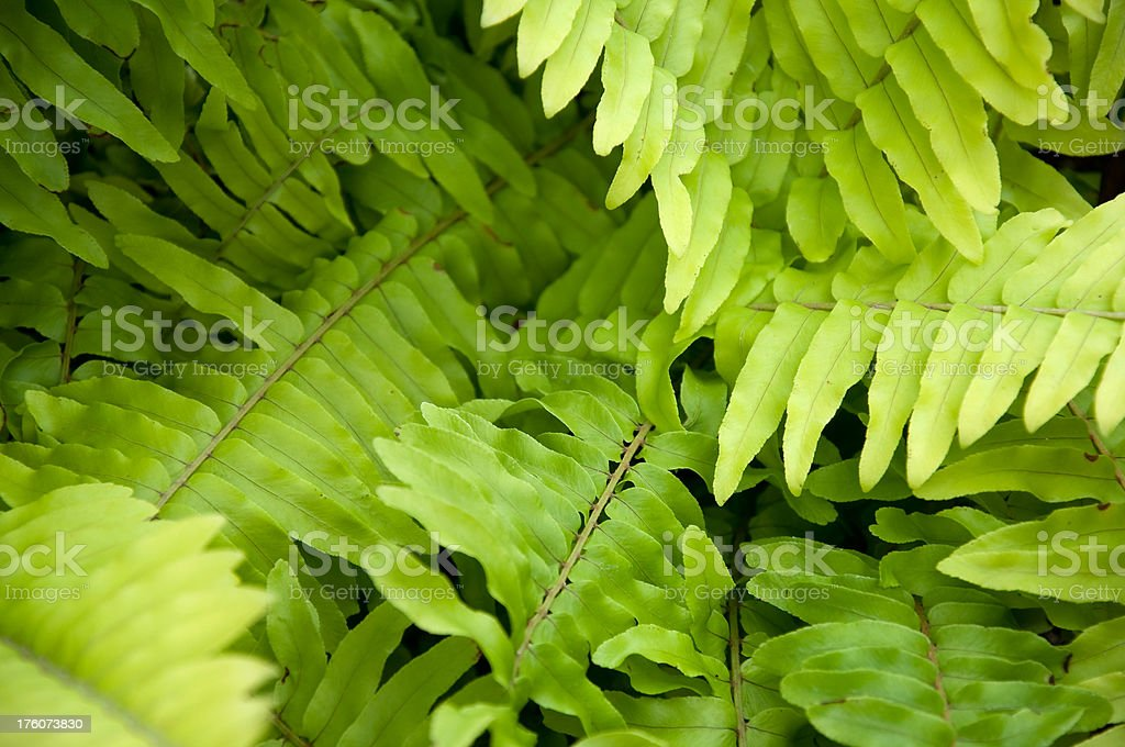 Golden Boston Fern stock photo