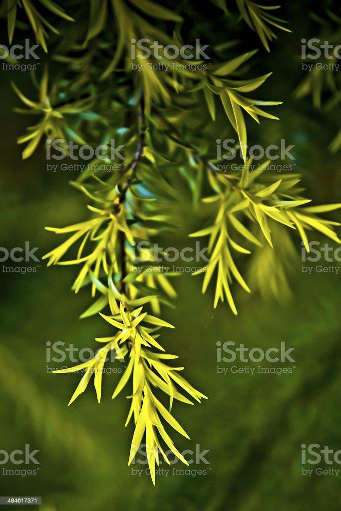 Golden Bottle Brush, River Tea Tree, Black Tea tree stock photo