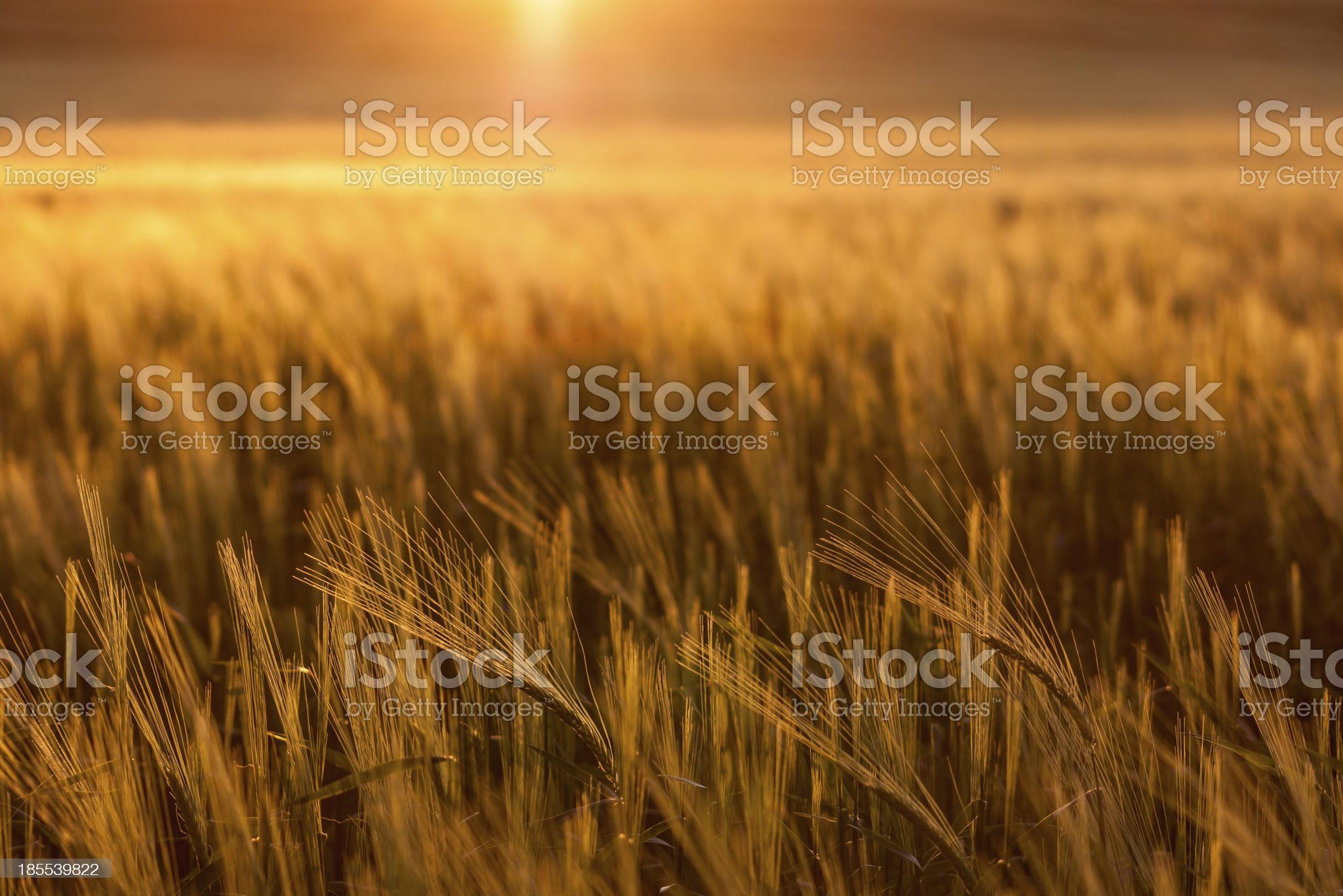 Golden brown wheat field at sunset royalty-free stock photo