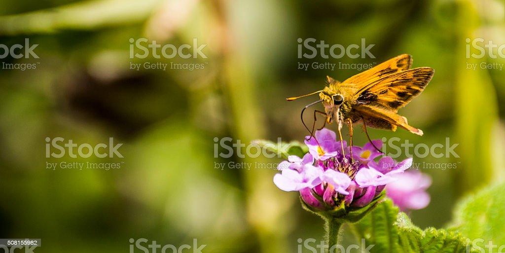 golden butterfly on the purple flower stock photo