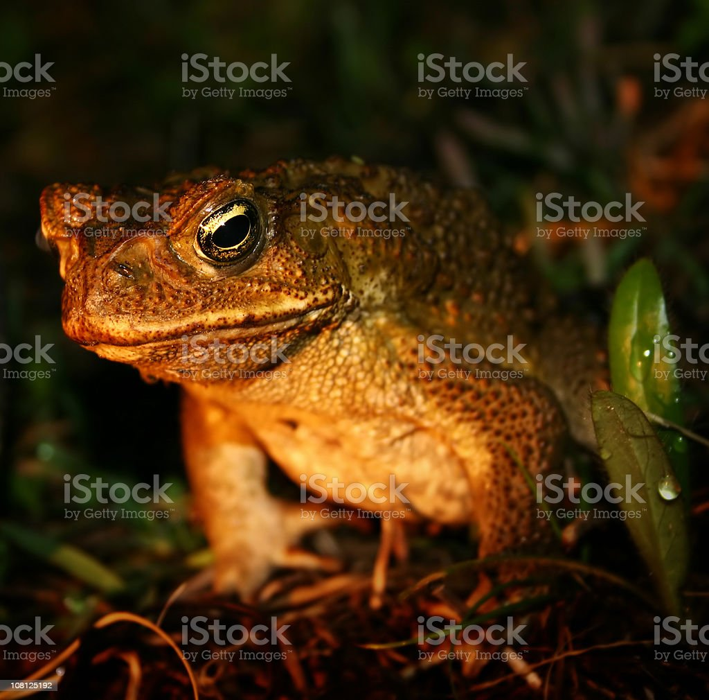 Golden Cane Toad royalty-free stock photo