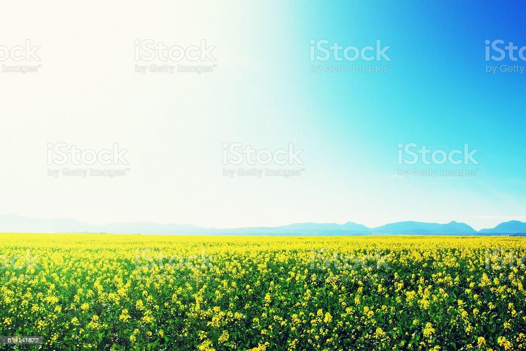 Golden canola fields ripening in the sun stock photo
