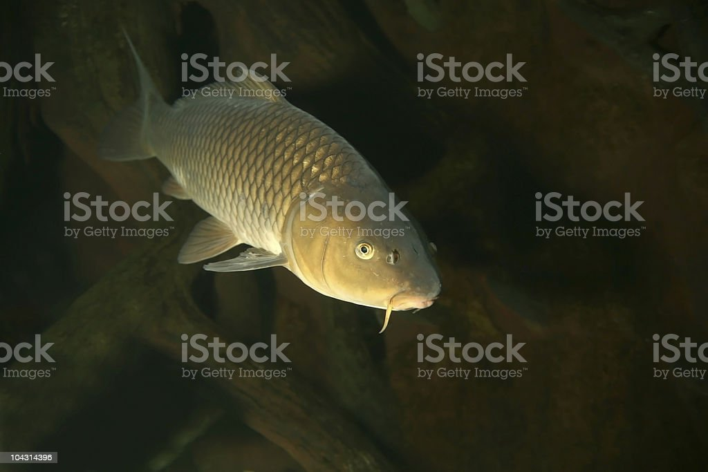 Golden carp swimming with rocks in background stock photo