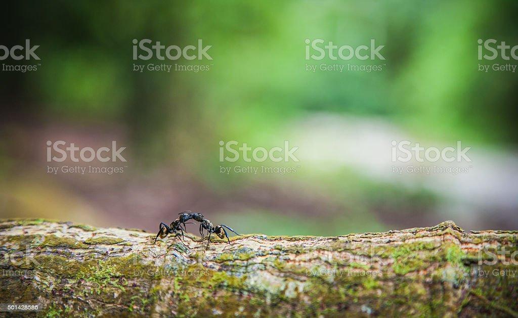 Golden Carpenter Ants stock photo