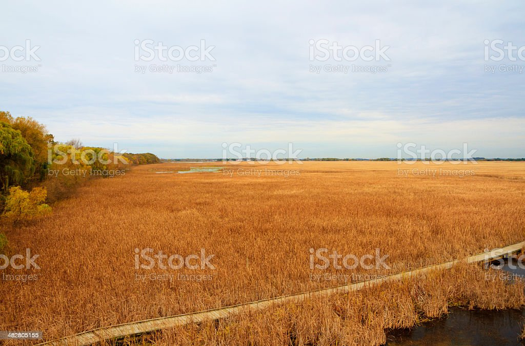 Golden Cattails and Marsh Grasses royalty-free stock photo