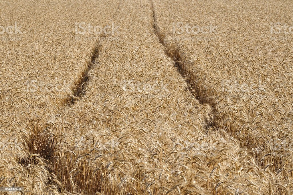 Golden cereal field with path of tractor stock photo
