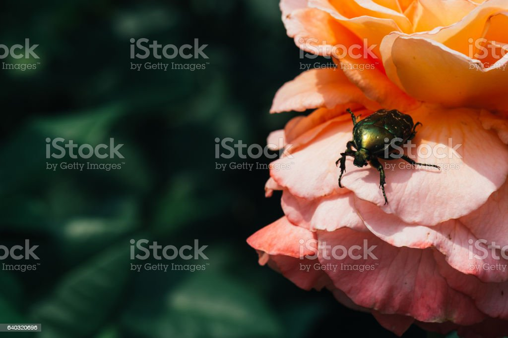Golden chafer on pink rose leaves background stock photo