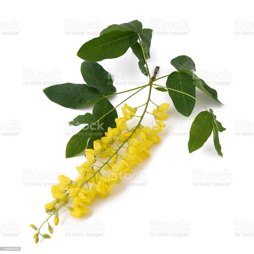 golden chain (Laburnum anagyroides) stock photo