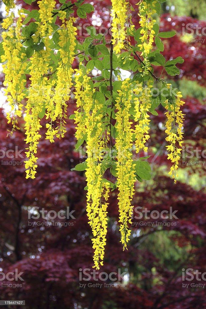 Golden Chain Tree stock photo