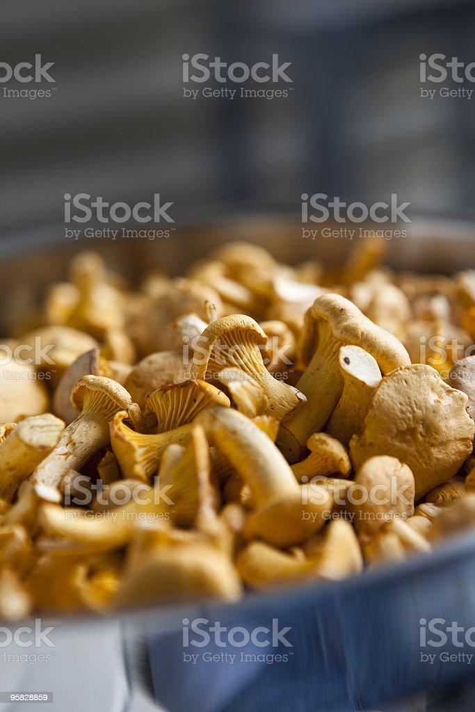 Golden Chantarelles stock photo