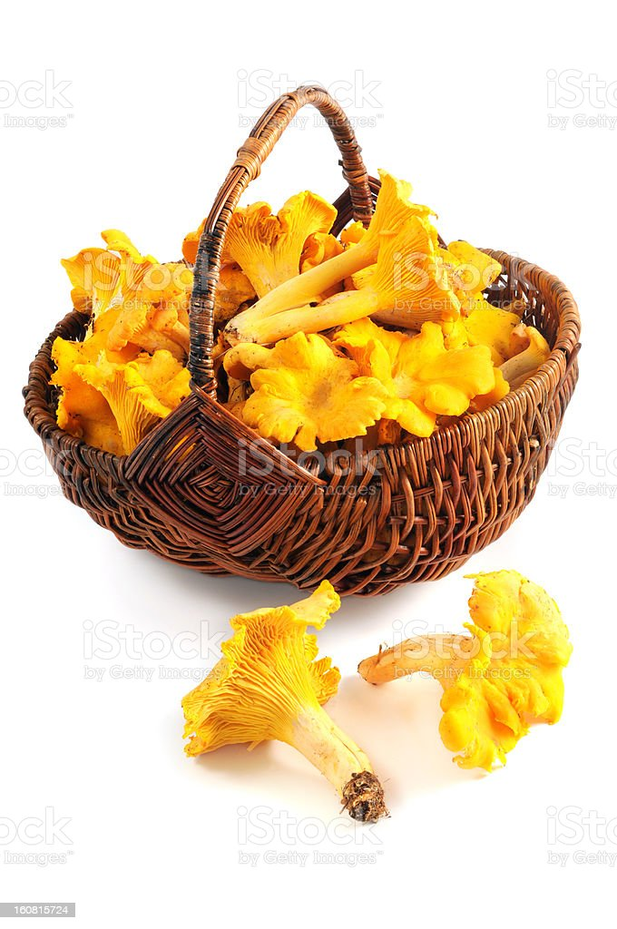 golden chanterelle mushroom (Cantharellus cibarius) in a basket royalty-free stock photo