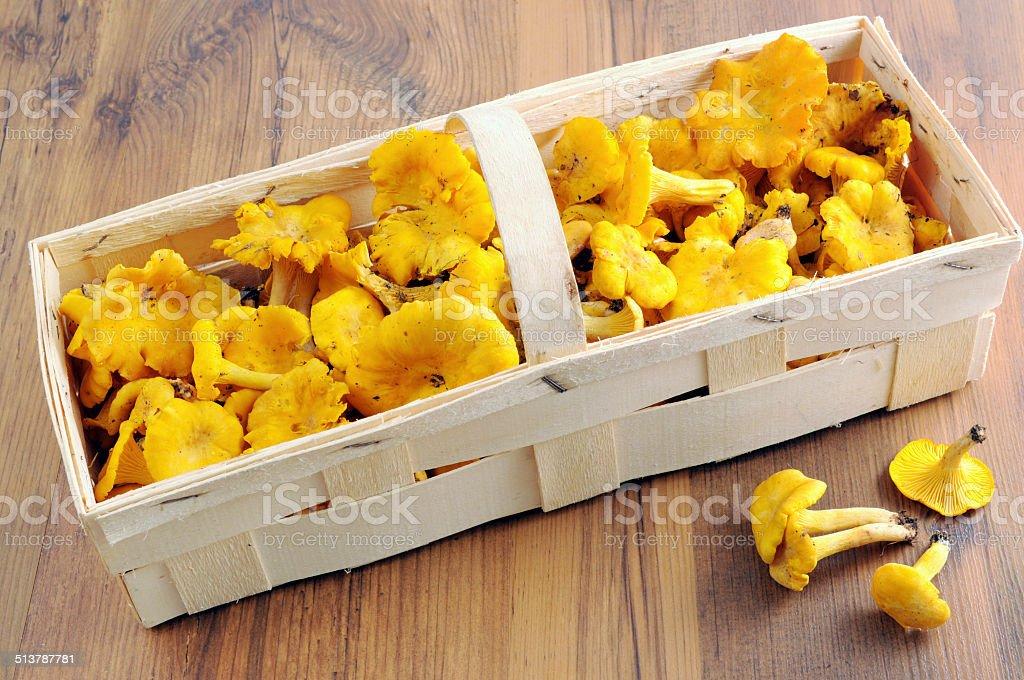 golden chanterelle mushroom (Cantharellus cibarius) stock photo