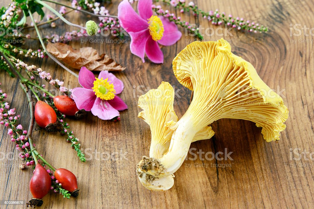 Golden Chanterelle mushrooms on table with rose hip and heather stock photo
