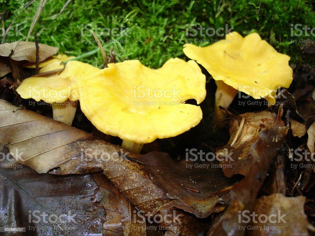 golden chanterelle stock photo