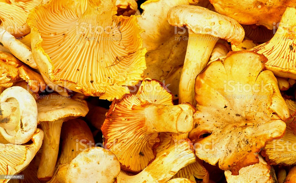 Golden Chanterelles Background stock photo