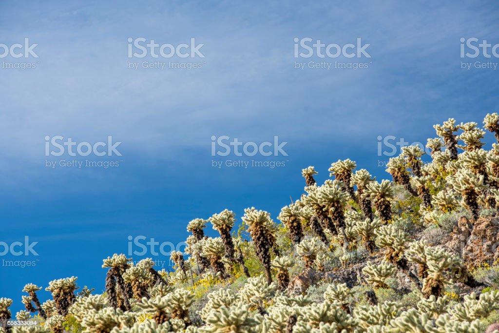 Golden Cholla Cactus stock photo