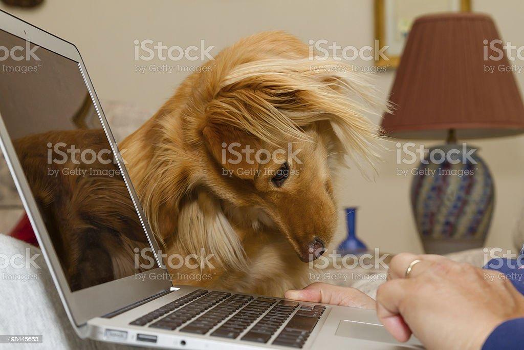 Golden colored puppy cocks his head toward a laptop. stock photo