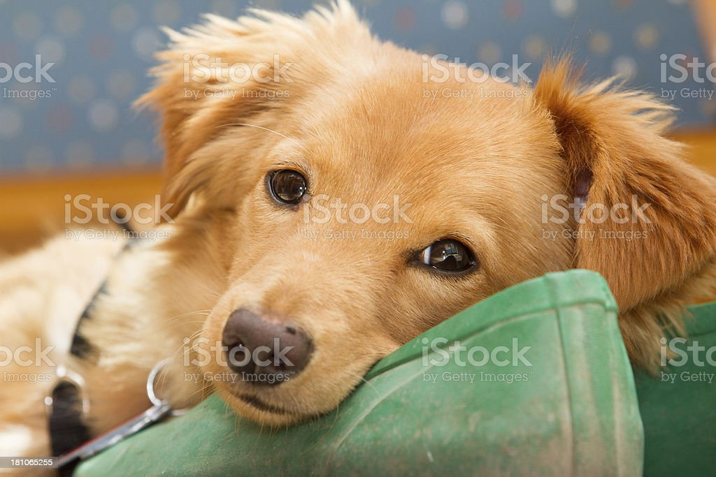 Golden colored puppy lying on shoes looks at the camera. stock photo