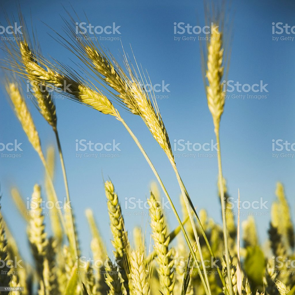 Golden Colored Wheat Crops royalty-free stock photo