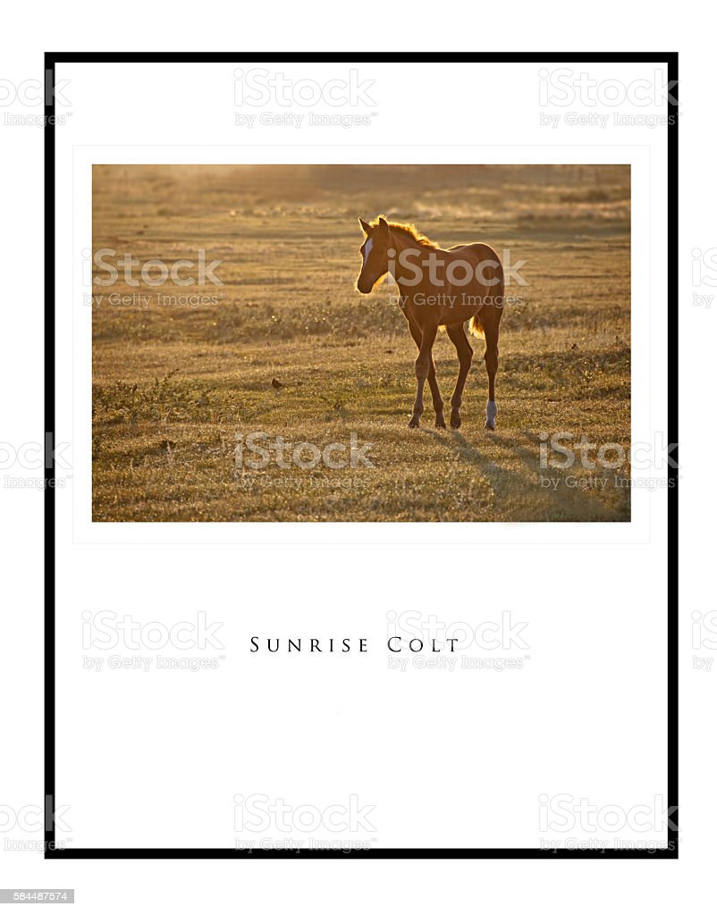 Golden colt at sunrise with image a poster and framed stock photo