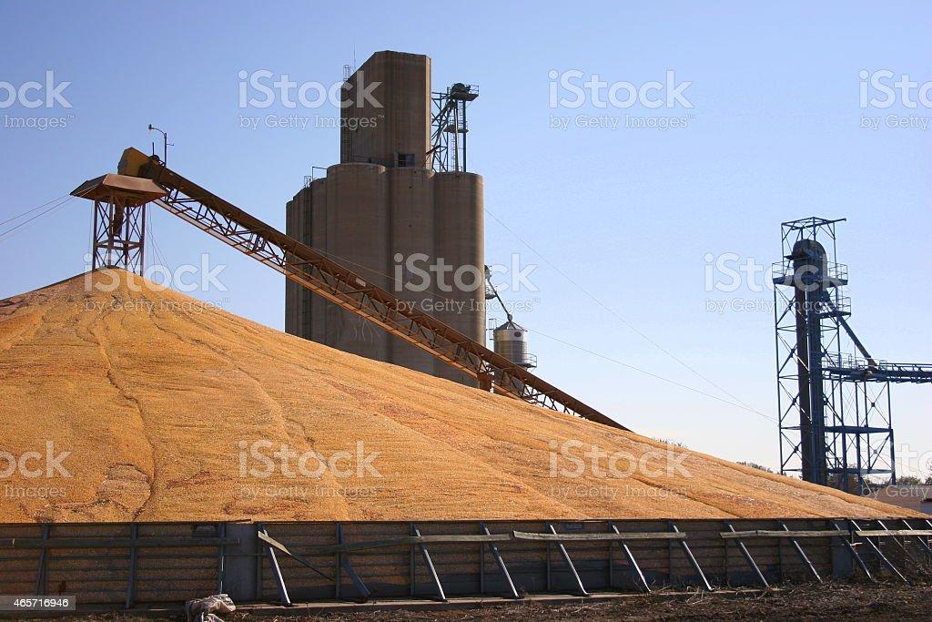 Golden Corn Creates a Large Pile in Iowa stock photo