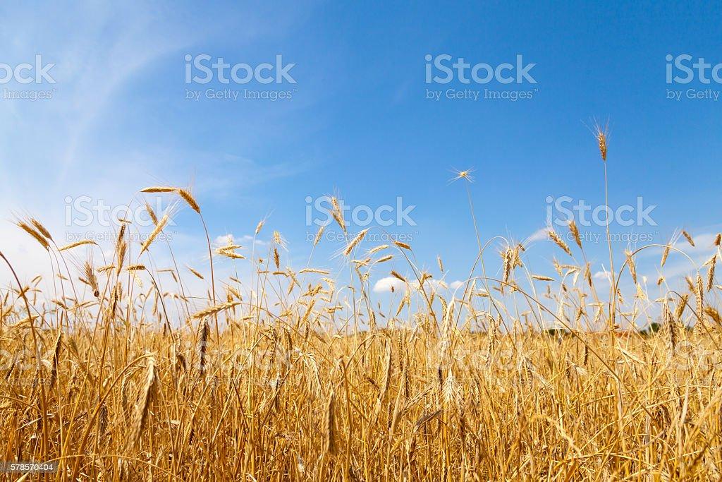 golden cornfield in germany stock photo