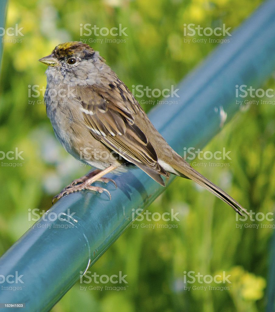 Golden Crowned Sparrow on blue pole stock photo