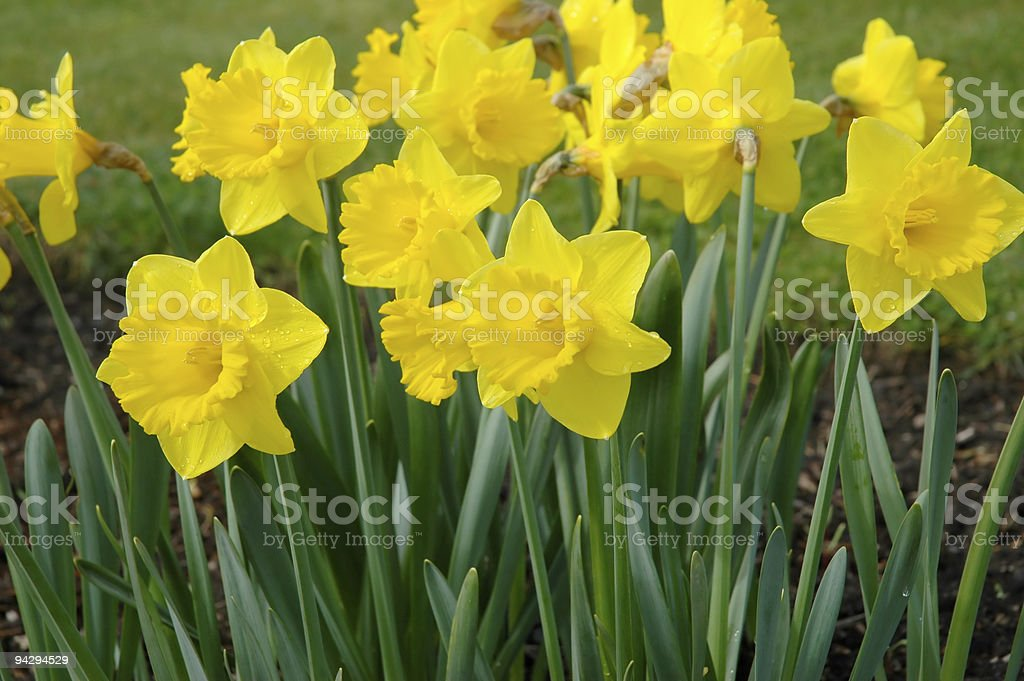 Golden Daffodils* royalty-free stock photo