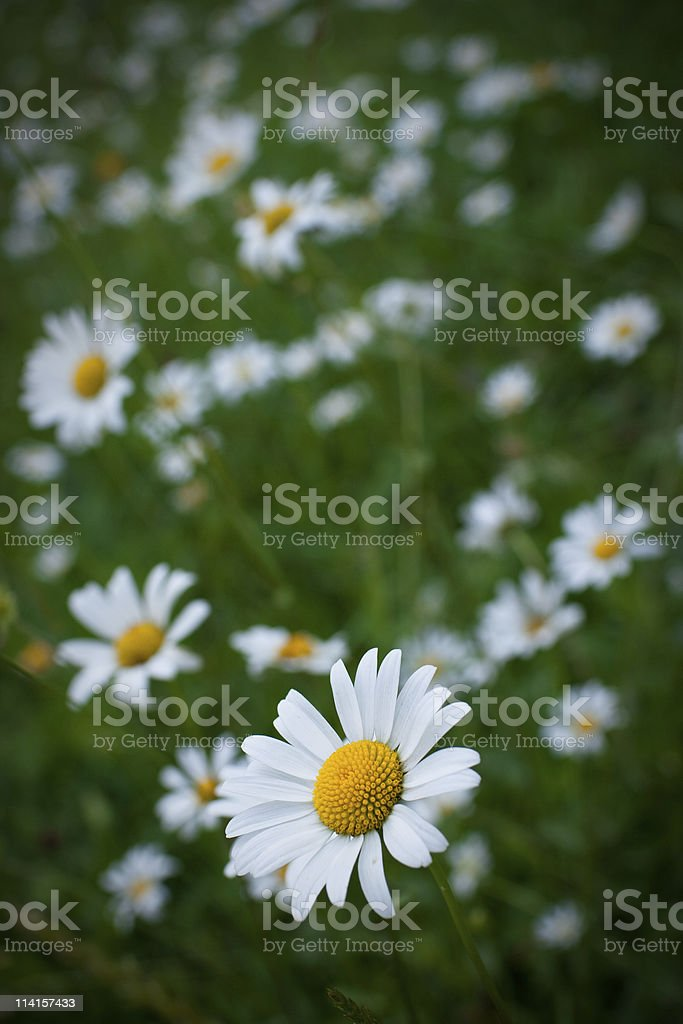 Golden Daisies stock photo