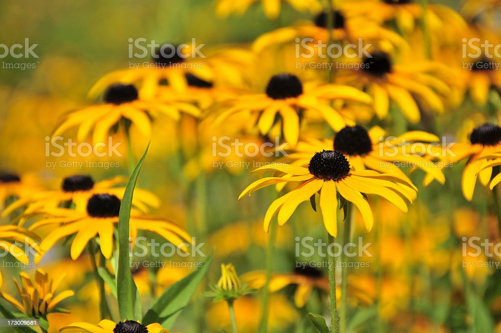 Golden Daisies royalty-free stock photo