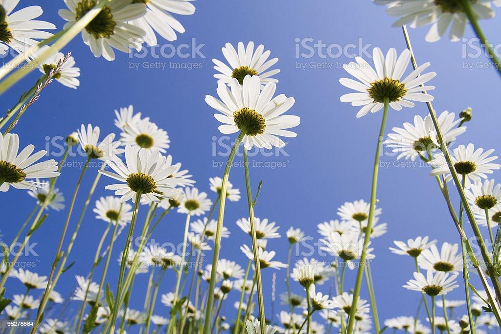 Golden daisies stock photo