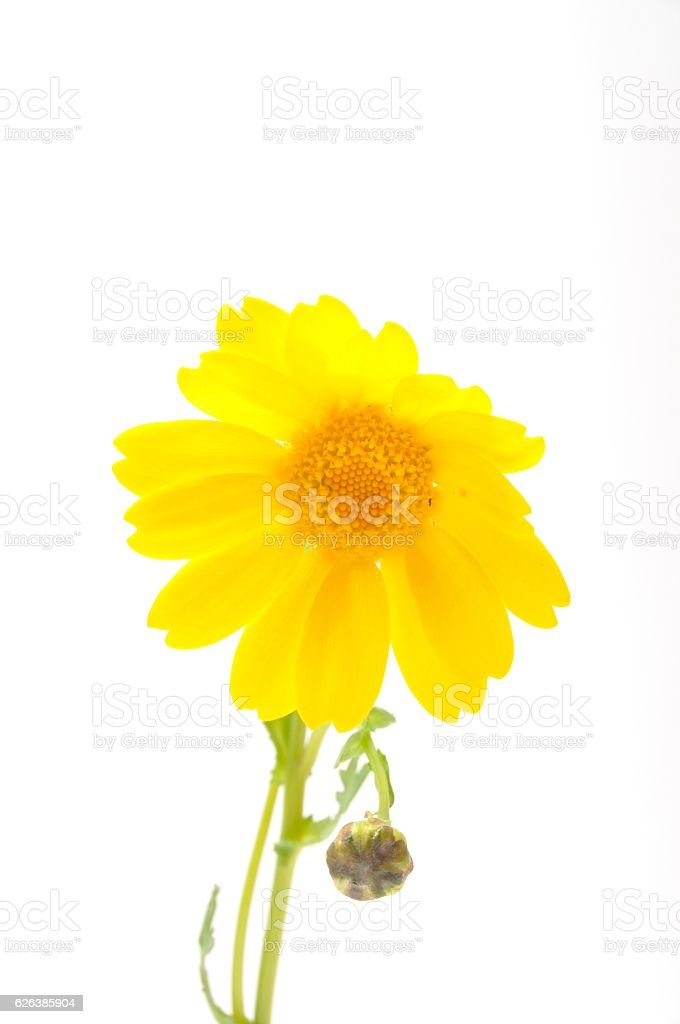 golden daisy on a blue background stock photo