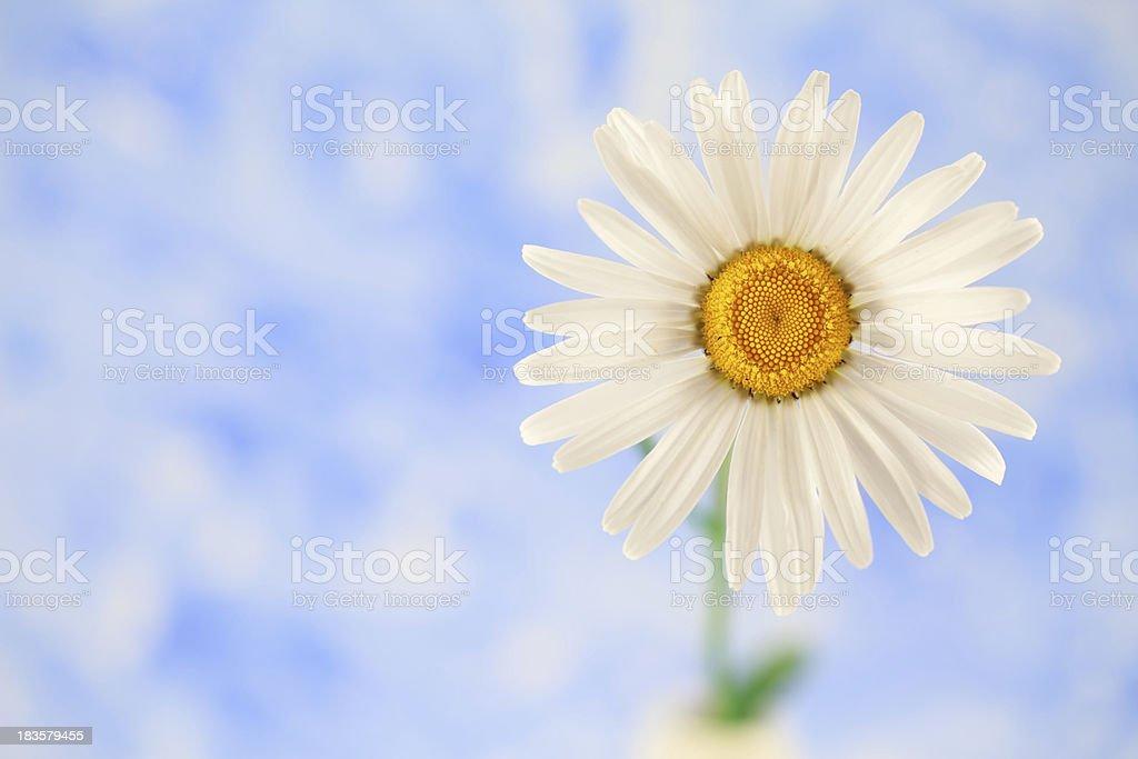 Golden Daisy royalty-free stock photo