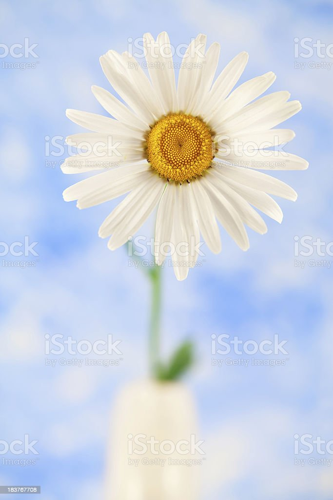 Golden Daisy royalty-free stock photo