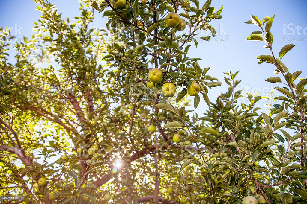 Golden Delicious Apple Orchard stock photo