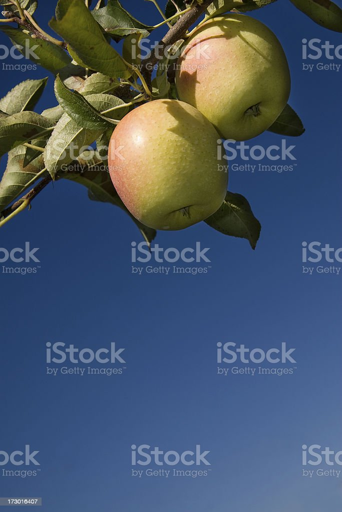 Golden delicious apples hanging from tree royalty-free stock photo