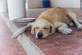 Golden dog sleep in afternoon
