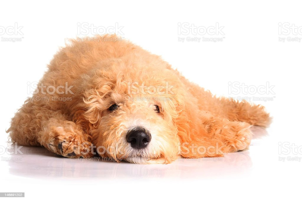 Golden doodle puppy royalty-free stock photo