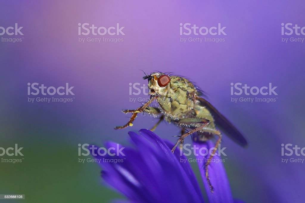 Golden dung fly on aster stock photo