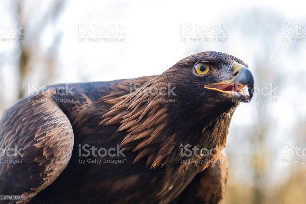Golden eagle - Aquila chrysaetos stock photo