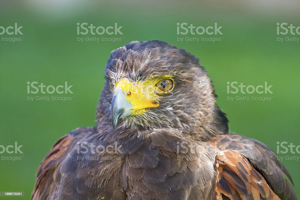 golden eagle close up royalty-free stock photo